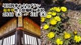 早川四季めぐりプラン 福寿草咲く宿場町・赤沢