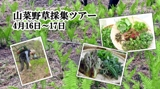 山菜野草採集ツアー